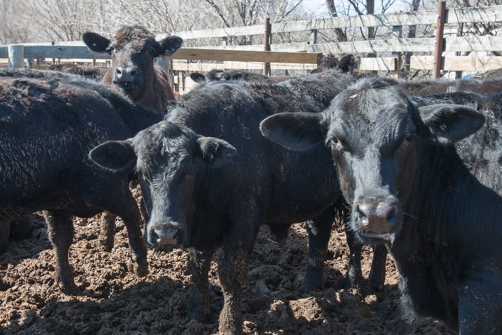 Cattle at the Oklahoma City Stockyards.