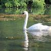 CM swan