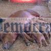 lotta_pigs