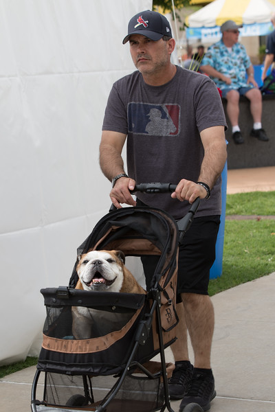 A bulldog being walked at the Oklahoma City Festival of the Arts held at Centinnial Park in Oklahoma City, OK.