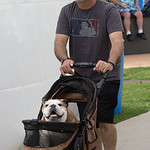 A bulldog being walked at the Oklahoma City Festival of the Arts held at Centinnial Park in Oklahoma City, OK.