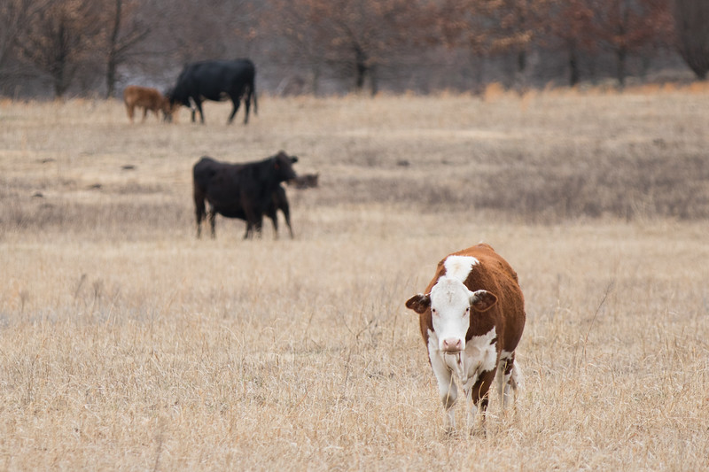 Cattle grazzing near Choctaw, OK.