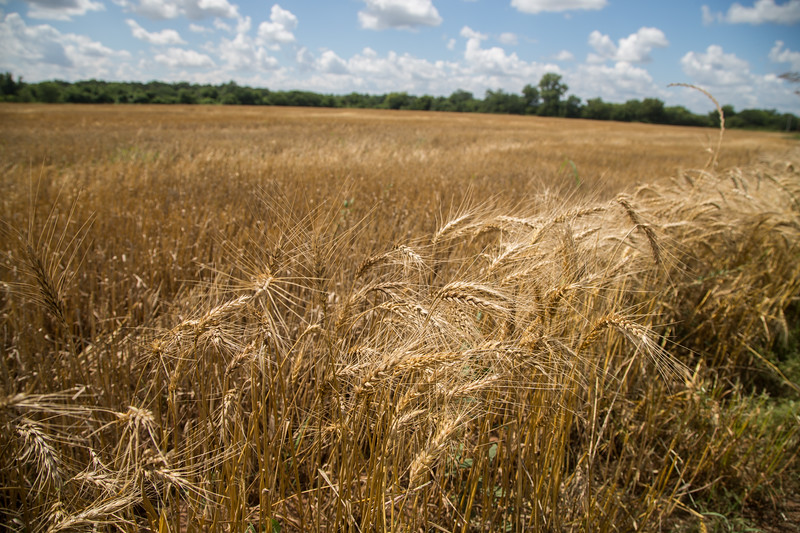 Unharvested wheat located on Broadway St and Camp Ave just west of Guthrie, OK.