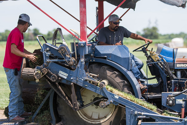 Fescue being harvested for sod at Canadian Valley Sod Farm located at 7000 N Midwest Blvd in Oklahoma City, OK.