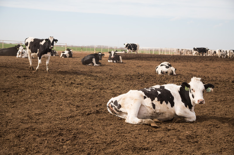 Cattle at Mason Dairy Farms in Kingfisher, OK.