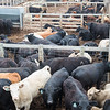 Cattle at the Oklahoma City Stockyards located at 2501 Exchange Ave in Oklahoma CIty.