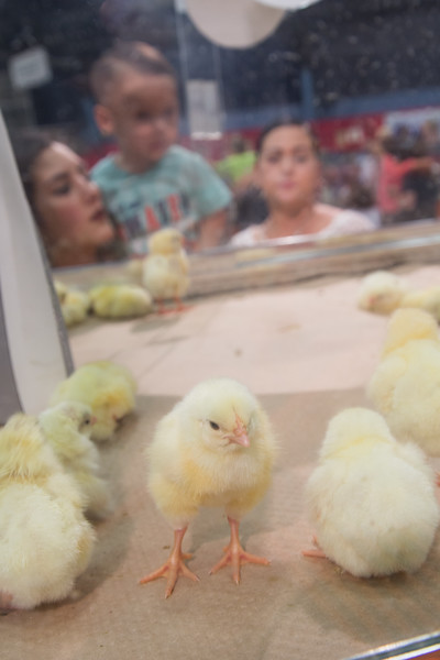 Newly hatched chickens on display at the Oklahoma State Fair located in Oklhoma City, OK.