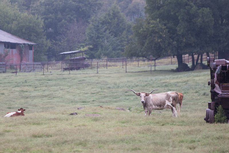 Longhorn cattle on a ranch just west of Arcadia, OK.
