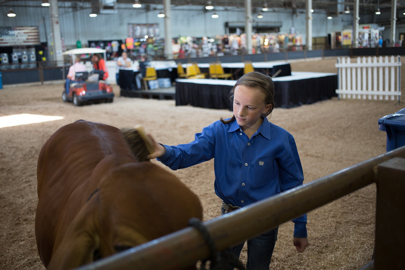 Kate Hammonds from Idebel, OK prepares her cows to compete in the Junior Brahman Show at the Oklahoma State Fair in Oklahoma City.