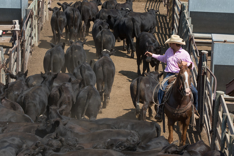 Cattle being seperated for auction at the Oklahoma City Stockyards.