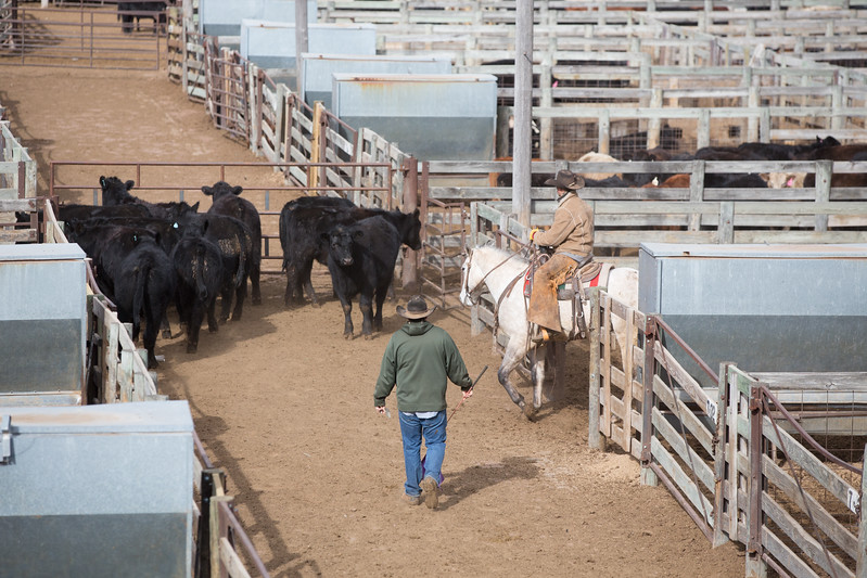 Cattle being moved for auction at Oklahoma National Stockyards located at 2501 Exchange Ave in Oklahoma City.