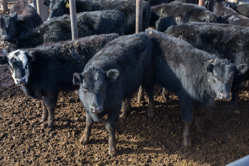 Cattle at Oklahoma National Stockyards Companys in located at 2501 Exchange Ave in Oklahoma City.