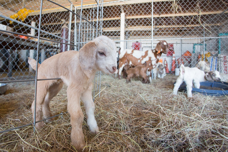 The City of Oklahoma City's goat heard is repopulating at their winter home at Lake Stanley Draper in Oklahoma City.