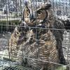 NARROWSBURG - owl 2