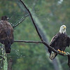Bald Eagles by NAC_4769
