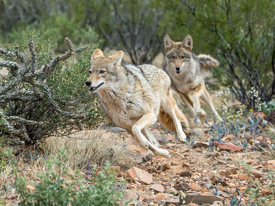 Coyote Chase