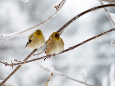 Frosty Finches