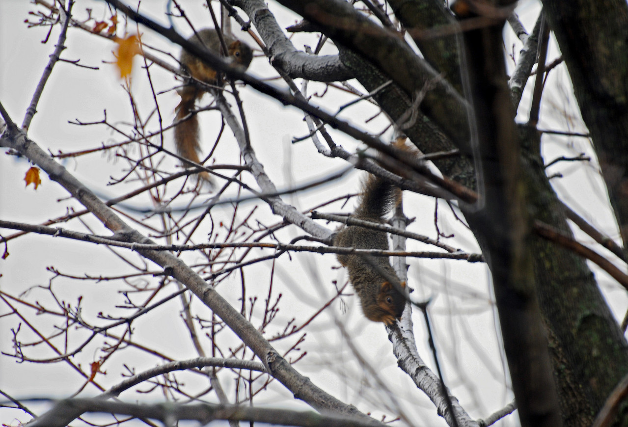 Can you tell what these two squirrels are doing? They turned an ice storm into playtime! They are sliding down the branch. The squirrel at the top of the branch is waiting his turn. If I had not taken the photo, I don't think anyone would have believed me... I didn't believe my eyes at first! This photo was on the evening news of WTHR Skywatch 13, Indianapolis 2/2/11