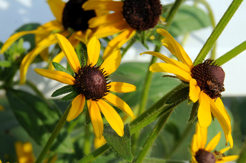 There is nothing more beautiful than a brimming pot of Black-eyed Susans on a Summer morning!