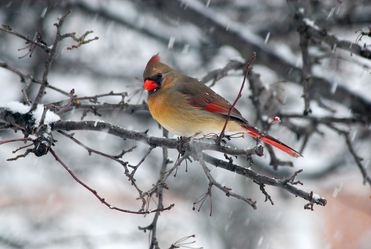 This Female Cardinal sits amongst the branches unaware of the delicate snowflake on her brow.