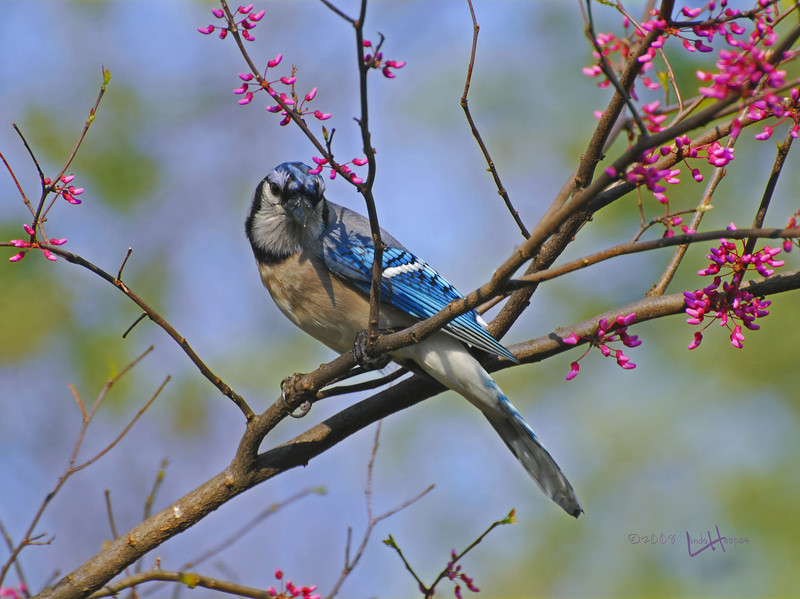 "This Bluejay looks ""picture perfect"" as it pauses on a redbud bush one spring day"