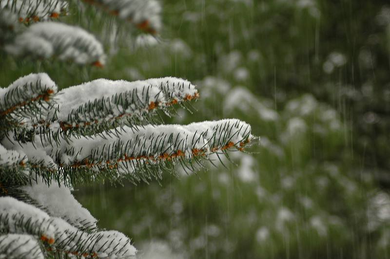 As the snow comes down, This pine tree reaches out its limbs to collect each snowflake