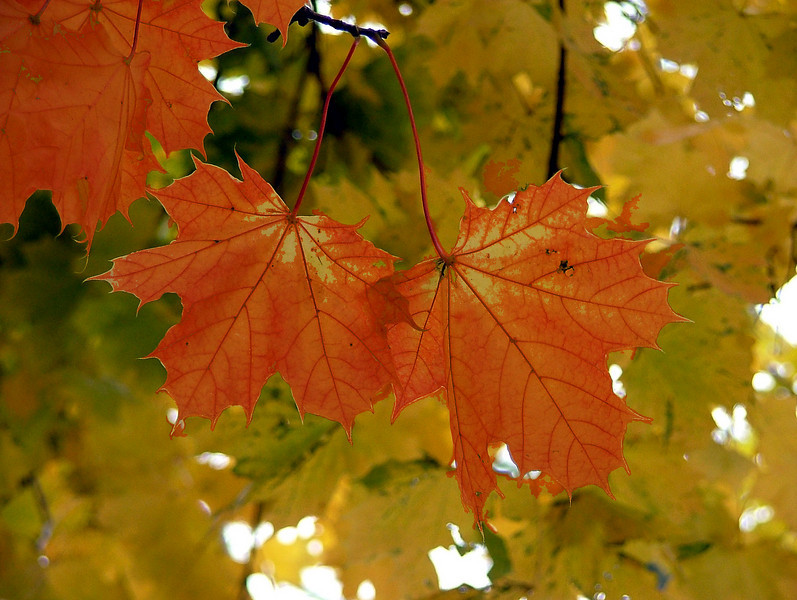 Leaves show the signs of Fall in their many colors of red, orange and amber.
