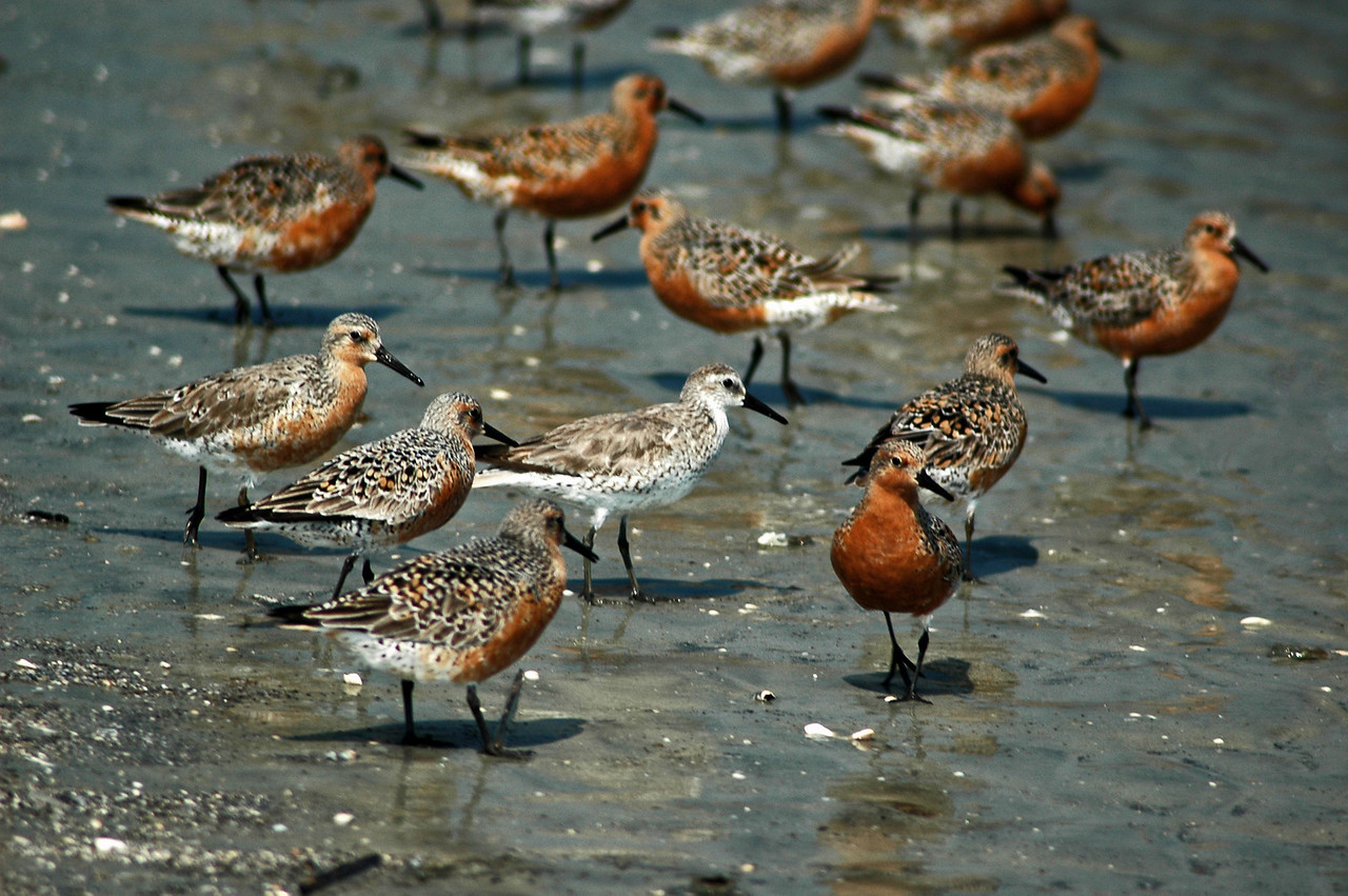 "These Red Knott shore birds are all ""in one accord... "" except one..."