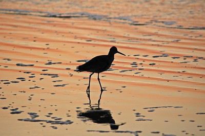 A shorebird scavenges for breakfast at the break of dawn