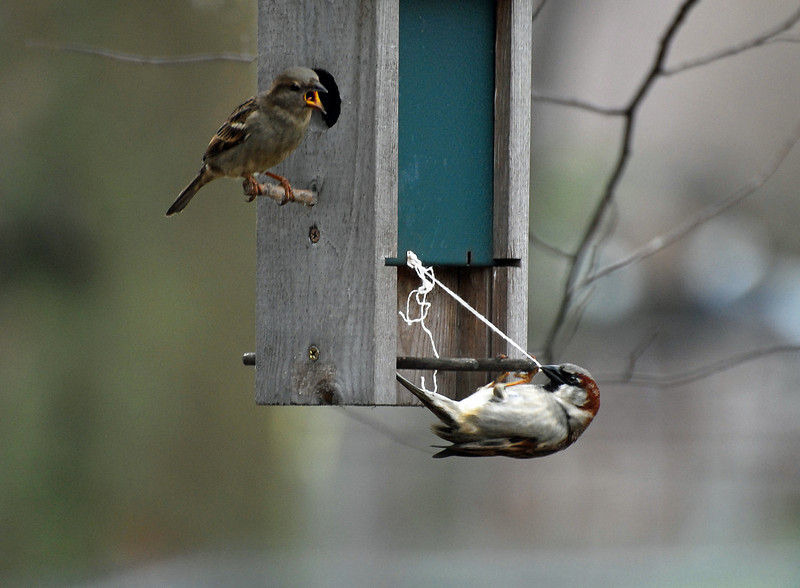 "This couple of sparrows are working ""together"" to build a nest in a birdhouse in another tree. I don't think the female is saying encouraging words as the male tugs with all his strength..."