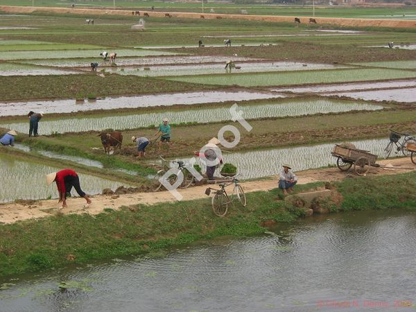 rice fields near Hanoi, Vietnam
