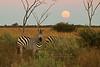 Sunset, Moonrise and a Zebra