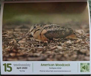 The Cornell Lab of Ornithology 2020 Bird a Day calendarAmerican Woodcock