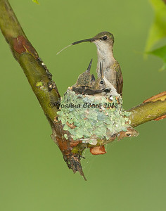 Ruby-Throated Hummingbird nest  Gahanna, OhioNational Wildlife Federation Photo of the Day. September 5th, 2012