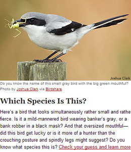 Loggerhead Shrike June 2014 Cornell Lab eNews Letter   Loggerhead ShrikeViera Wetlands, FloridaPublished inJune 2014 Cornell Lab eNews Letter