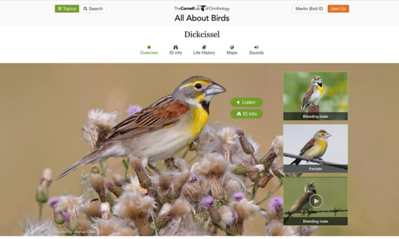 Dickcissel from The Cornell Lab of Ornithology