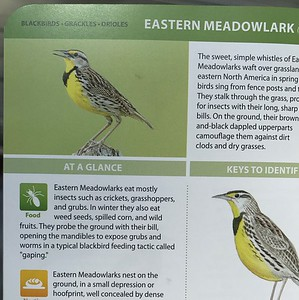 Eastern Meadowlark (page 176)All About Backyard Birds Handbook