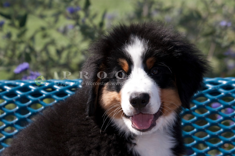Purebred  Bernese Mountain Dog