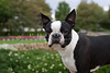 Purebred Boston Terrier