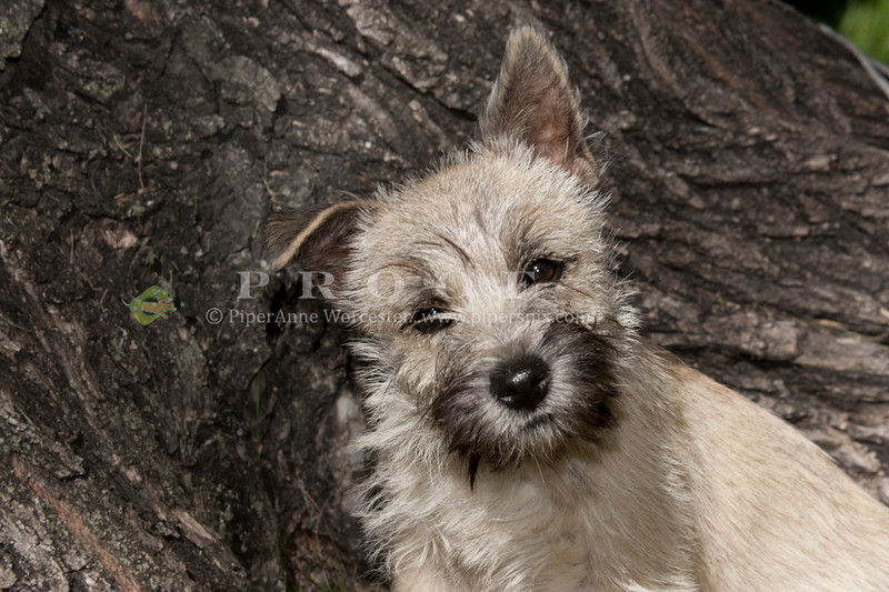 Purebred Carin Terrier