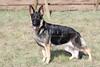 Purebred  German Shepherd