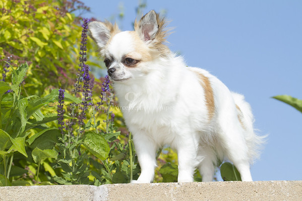 Chihuahua_PAW