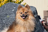 Purebred  Pomeranian