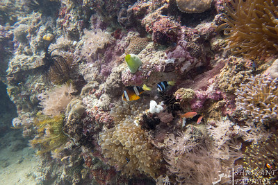 Clark's Anemonefish Damselfish