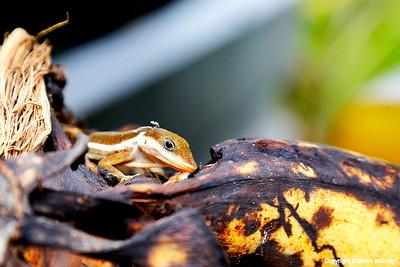 Nature in Puerto Rico - lizard