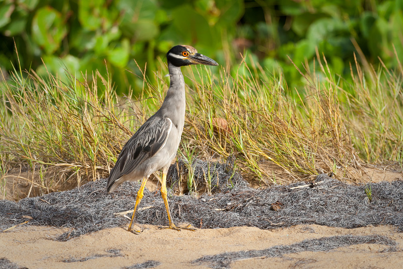 While photographing around the beach, this bird followed closely behind. Even when I approached him, he seem more curious than afraid. Maunabo, PR<br /> <br /> PR-070727-0110