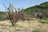 Guanica Cactus