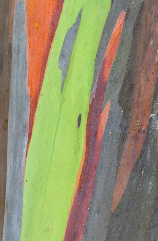 Colorful bark of Eucalyptus tree. Guánica, PR<br /> <br /> PR-070717-0293