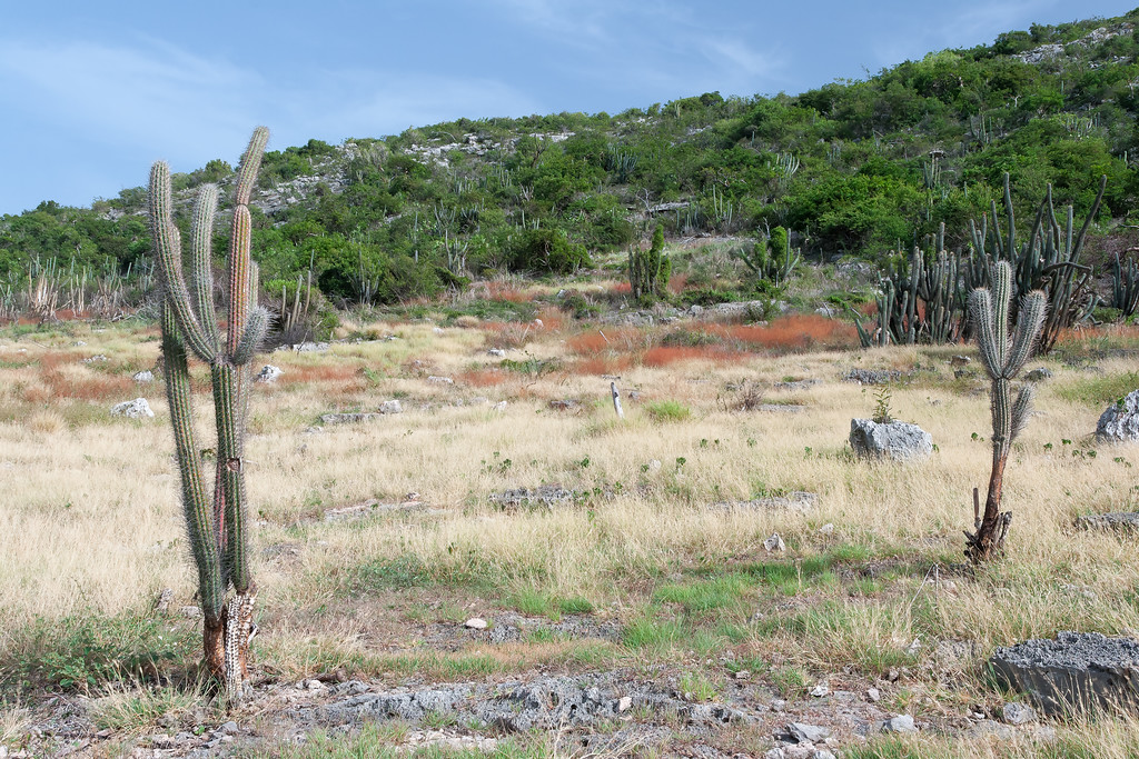 The words dry forest convey a images of desolation and lack of greenery but that is not always the case. Cactus grow in between patches of grasses and semi-evergreen plants which provide not only color but texture to the area. Guánica, PR<br /> <br /> PR-070718-0106