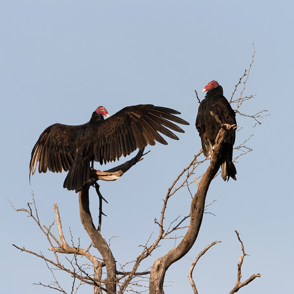 A pair of turkey vultures dry their wings and rest in the early morning. Lajas, PR<br /> <br /> PR-070717-0037